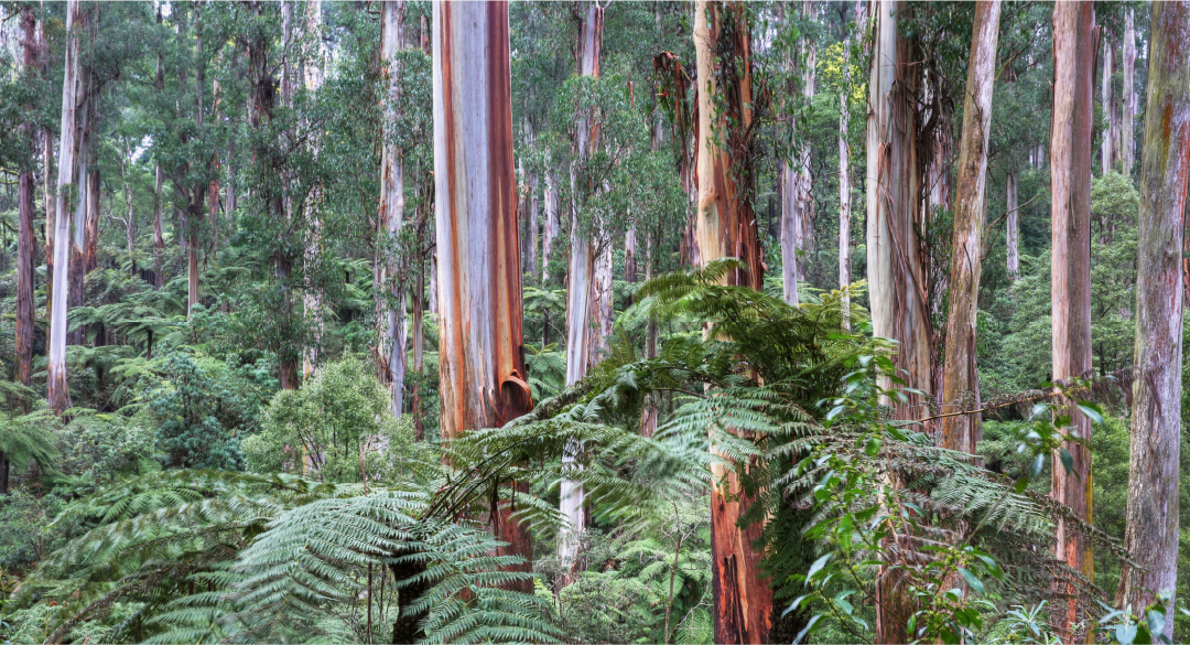 A photo of Sherbrooke Forest in the Dandenong Ranges - Victoria, Australia
